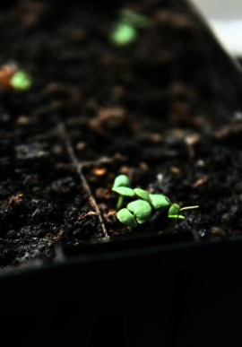 Baby basil seedlings on my windowsill